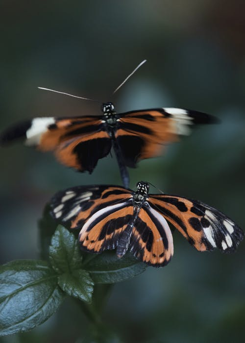 Close-Up Shot of Orange and Black Butterflies