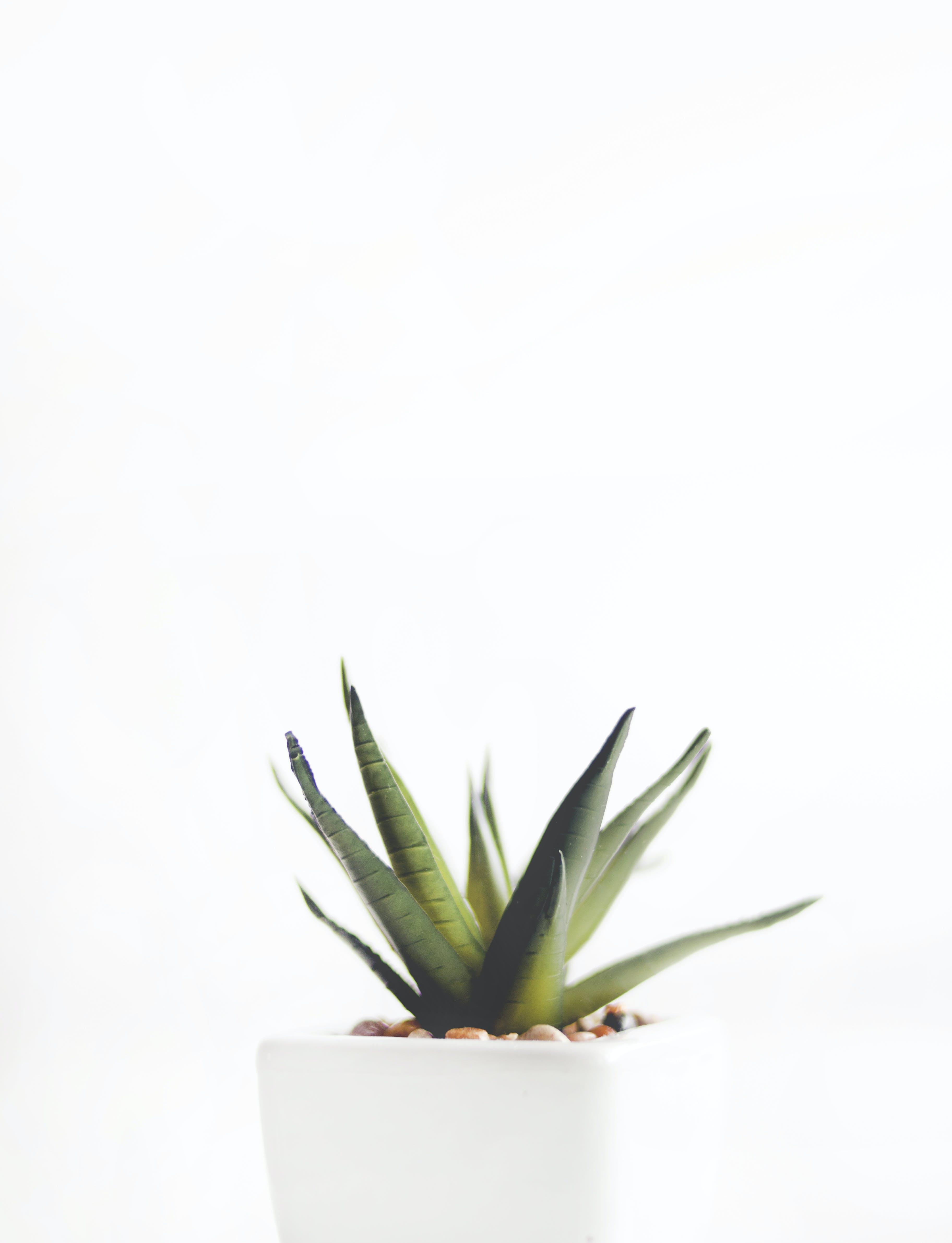 Aloe Vera Plant on White Pot