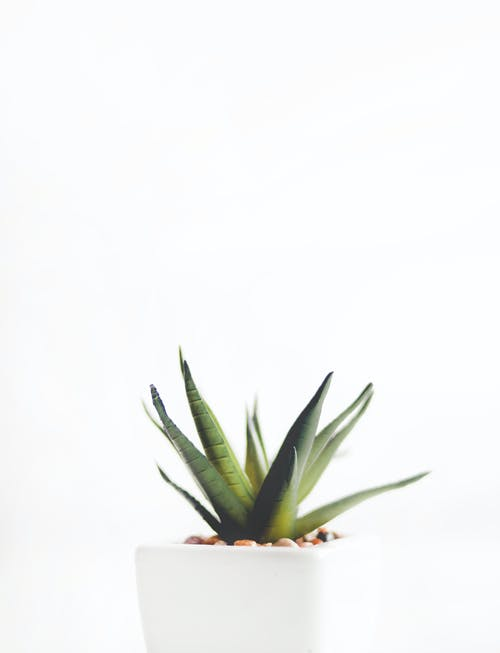 Aloe Vera Plant on White Pot
