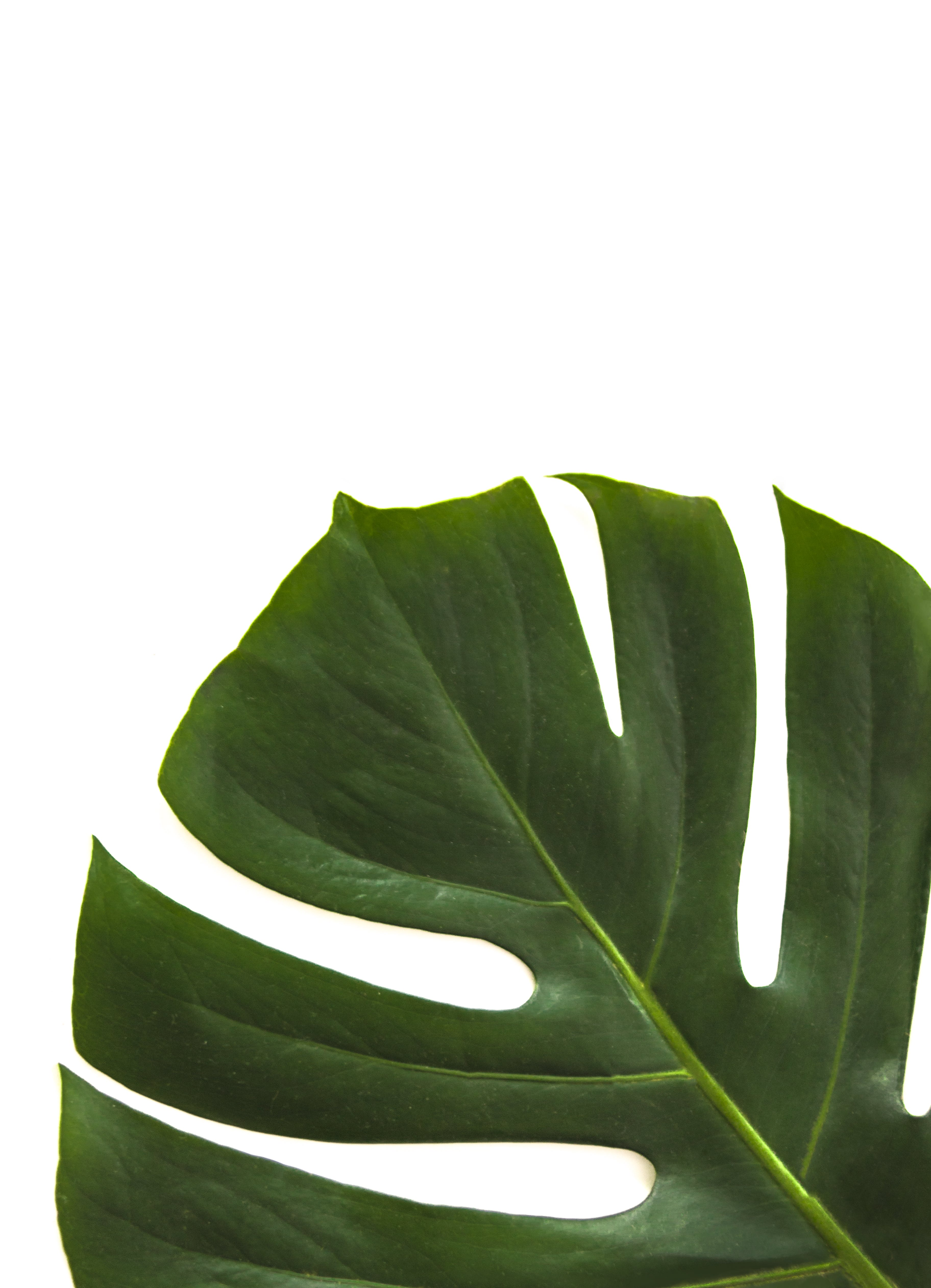 Close-up Photo of Swiss Cheese Leaf