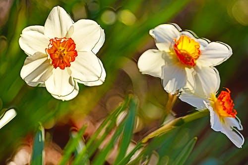 Δωρεάν στοκ φωτογραφιών με hdr, λουλούδια, Νάρκισσος, όμορφα λουλούδια