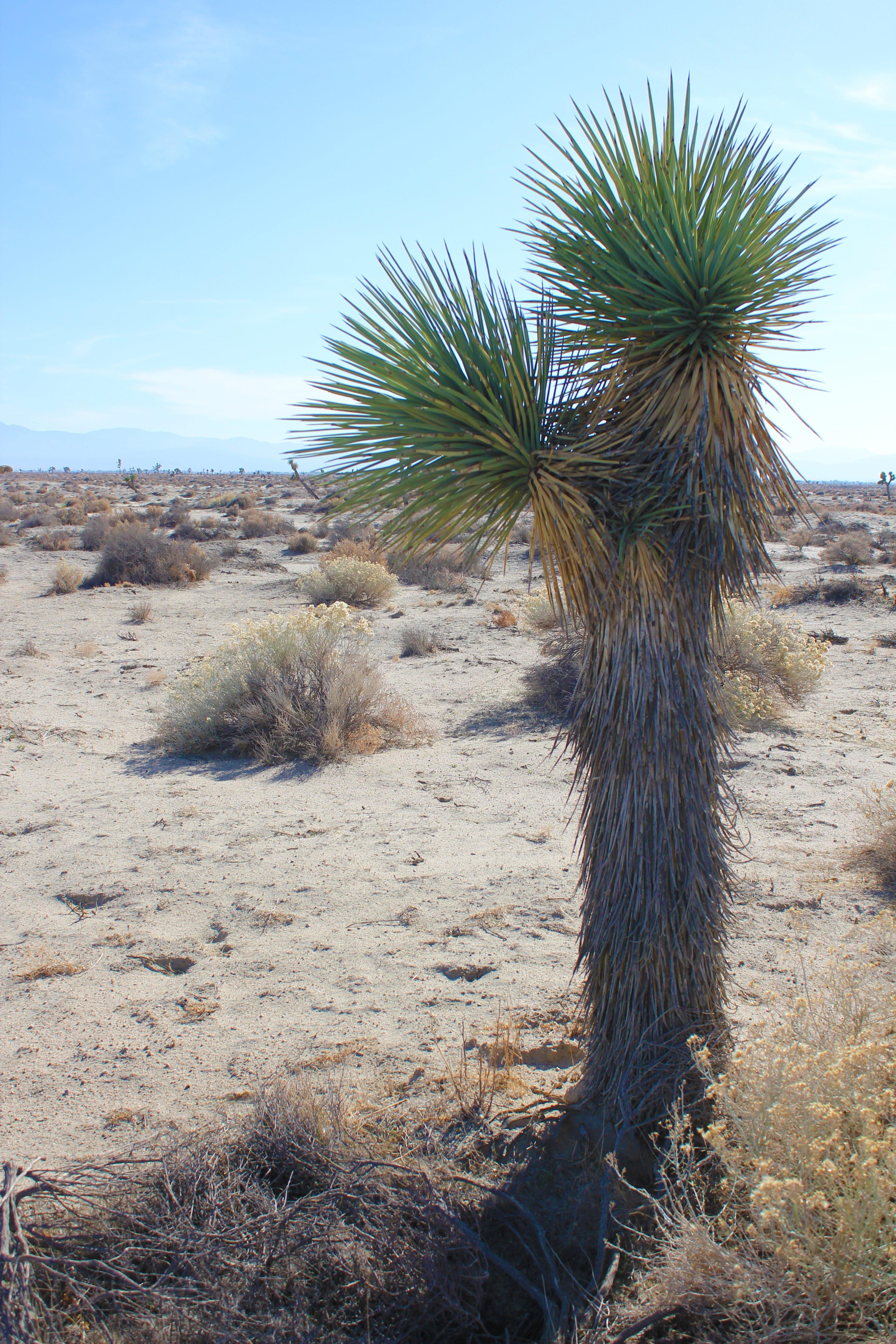 antelope valley, joshua tree