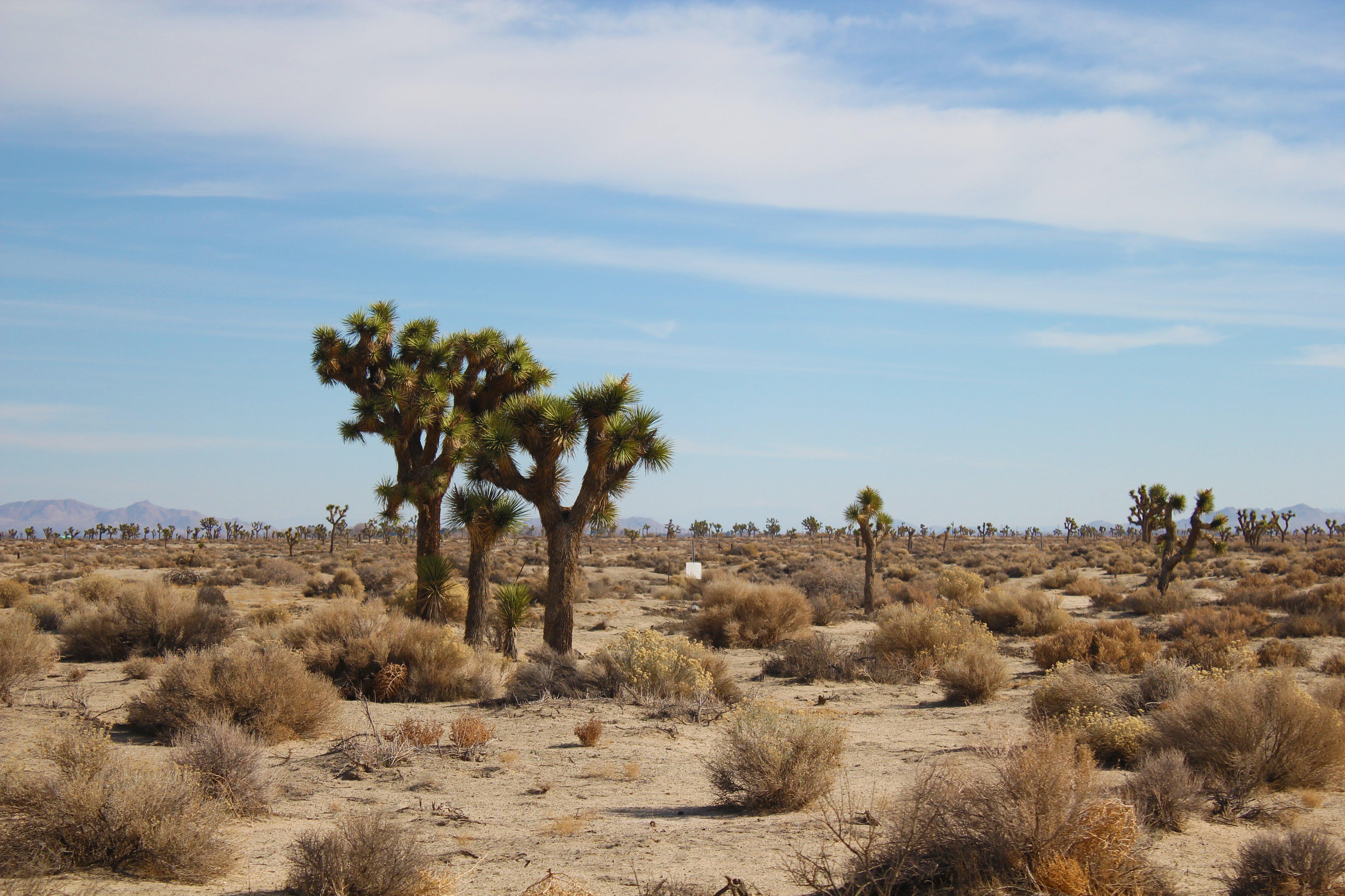 Free stock photo of joshua tree, antelope valley