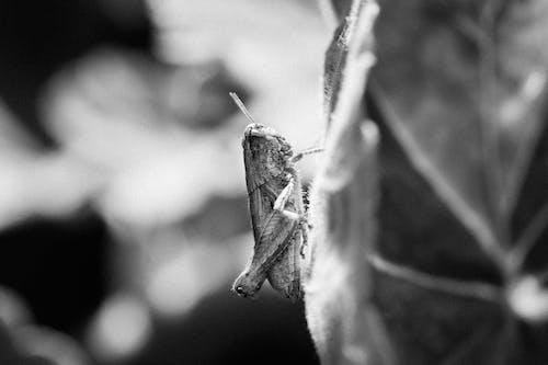 Grayscale Photo of a Grasshopper