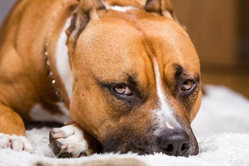 Gratis stockfoto met aanbiddelijk, beest, close-up, hond