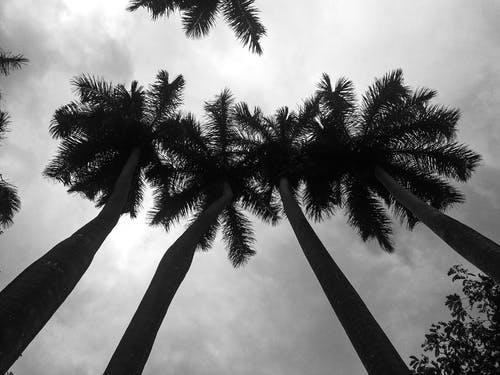 Δωρεάν στοκ φωτογραφιών με ασπρόμαυρο, δέντρα, δέντρα καρύδας, μονόχρωμος