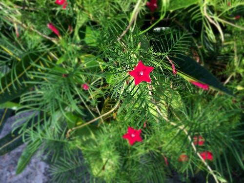 Ingyenes stockfotó piros, virág témában
