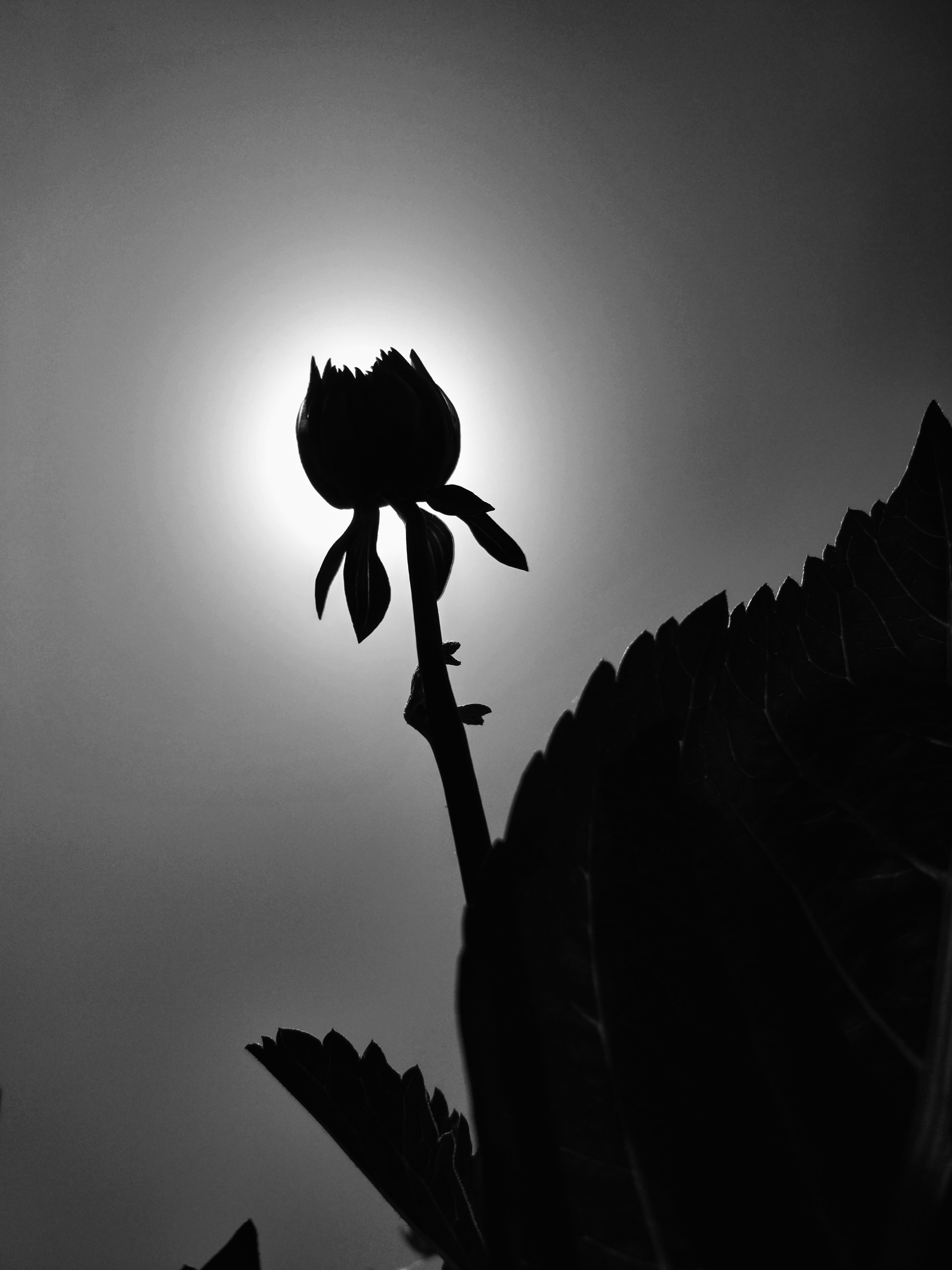 Free Stock Photo Of Beautiful Flowers Black And White Black And White