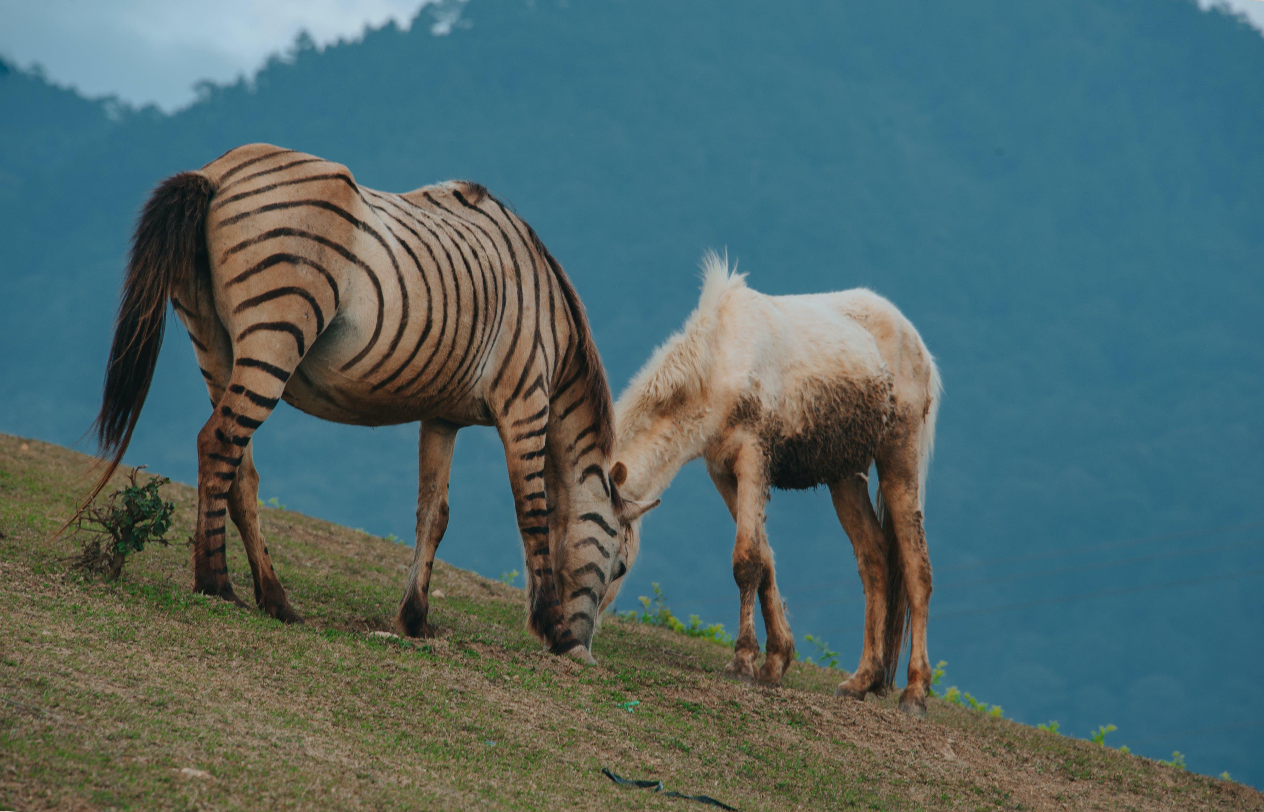 Brown and Black Zebra Beside White Horse