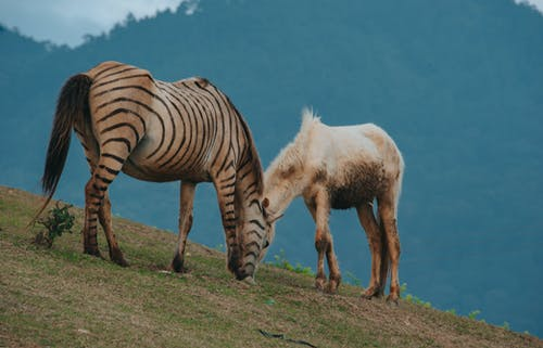 Brown and Black Zebra Beside White Horse
