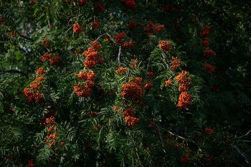 Free stock photo of berries, rowan, tree