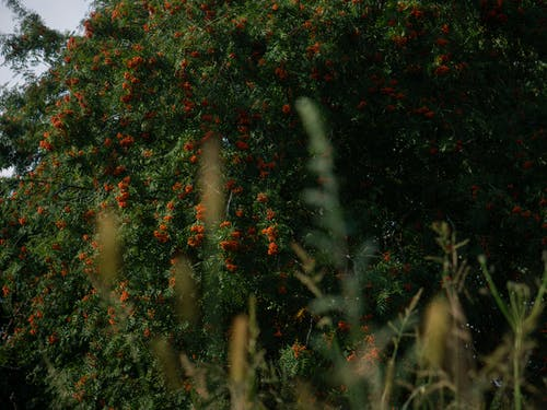 Free stock photo of berries, rowan