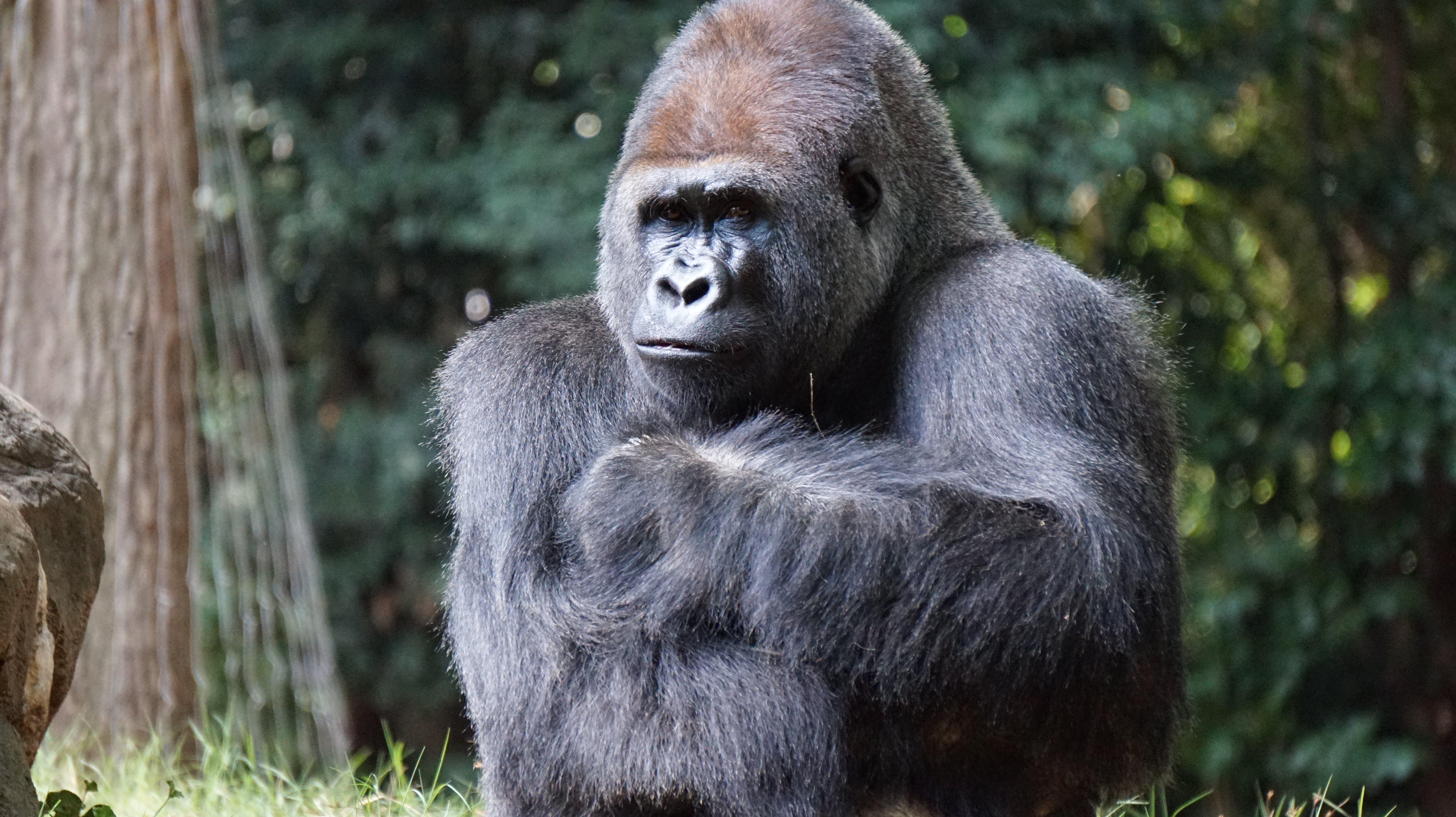 Foto stok gratis binatang, binatang liar, fotografi binatang, gorila
