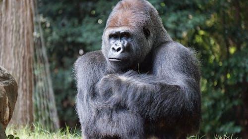 Foto stok gratis binatang, binatang buas, fotografi binatang, gorila