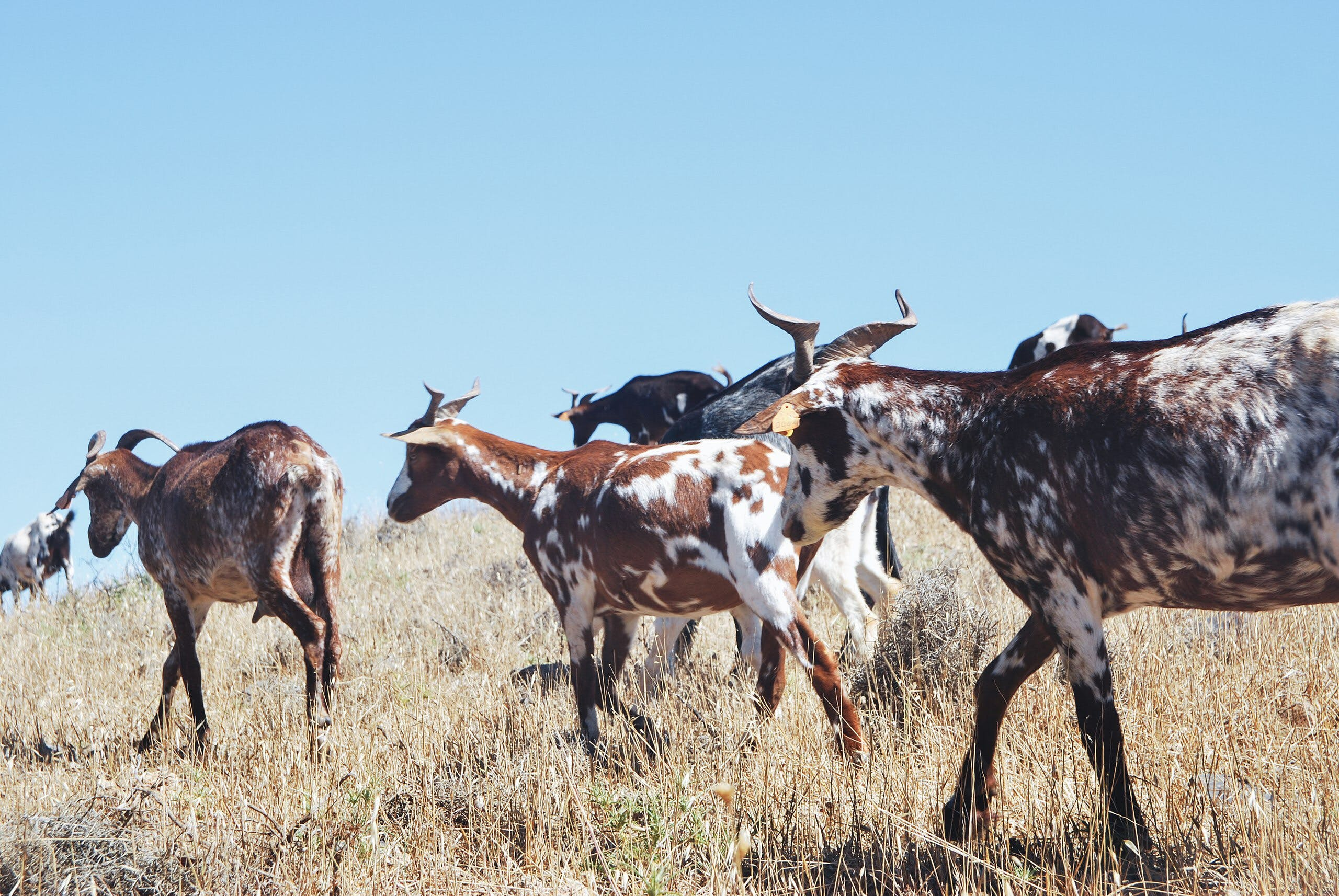 Herd of Goat on Grass Field