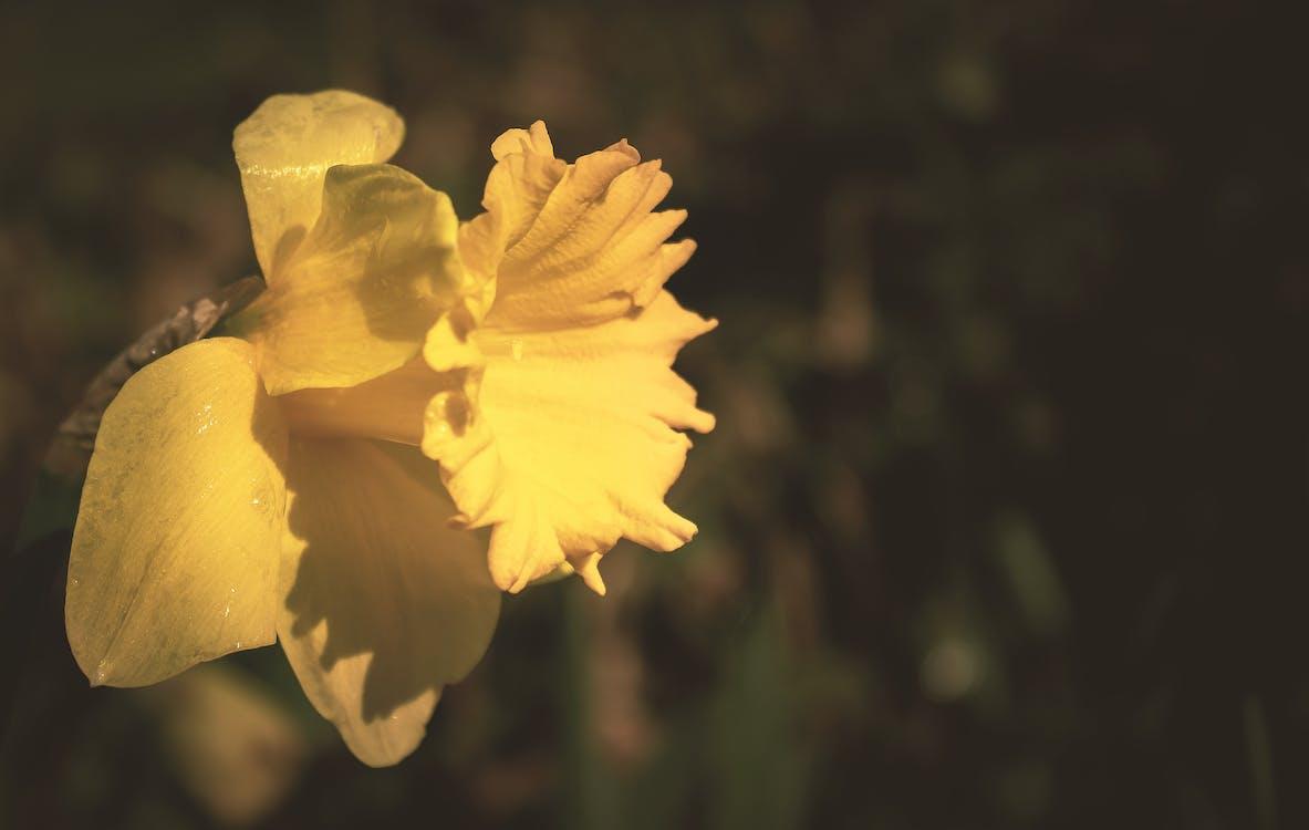 Yellow Daffodil Flower in Tilt Shift Lens Photography