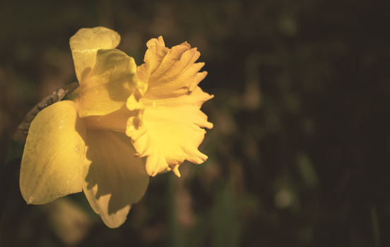 Yellow Daffodil Flower in Tilt Shift Lens Photography