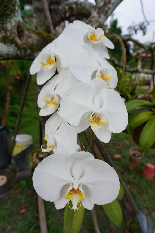 Free stock photo of orchid, white
