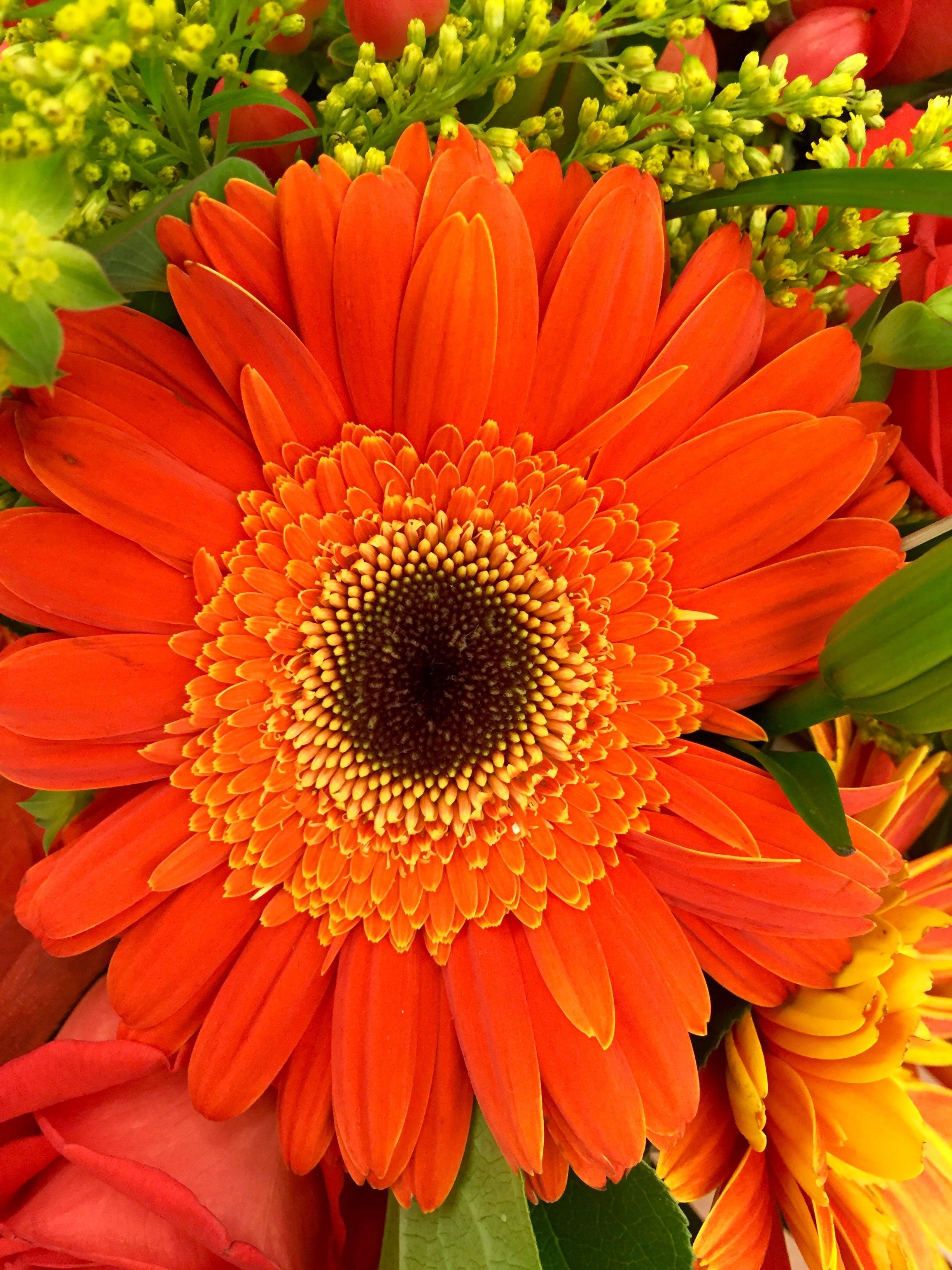 Základová fotografie zdarma na téma flóra, gerbera, kytka, oranžová