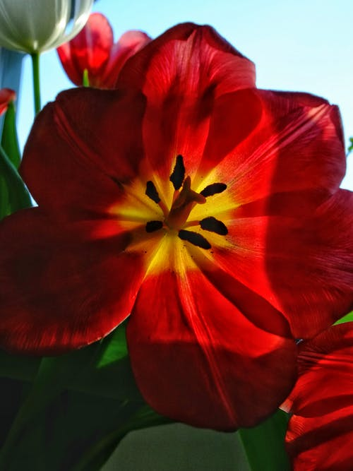 Безкоштовне стокове фото на тему «#minimalist #tulip #flower #red»
