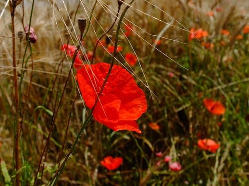Безкоштовне стокове фото на тему «#minimalism #nature #poppy #field»