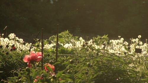 Fotobanka sbezplatnými fotkami na tému krása, kvety, pivónia, príroda