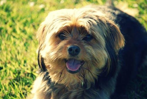 伸出舌头, 動物, 宏觀, 寵物 的 免费素材照片