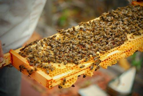 outfoors, 動物, 女王蜂, 昆蟲 的 免费素材照片