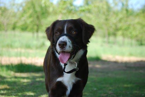 伸出舌头, 動物, 寵物, 棕色 的 免费素材照片