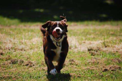 動物, 寵物, 托比, 棕色 的 免费素材照片