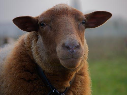 Gratis stockfoto met bruin, natuur, schapen, vroege morgen