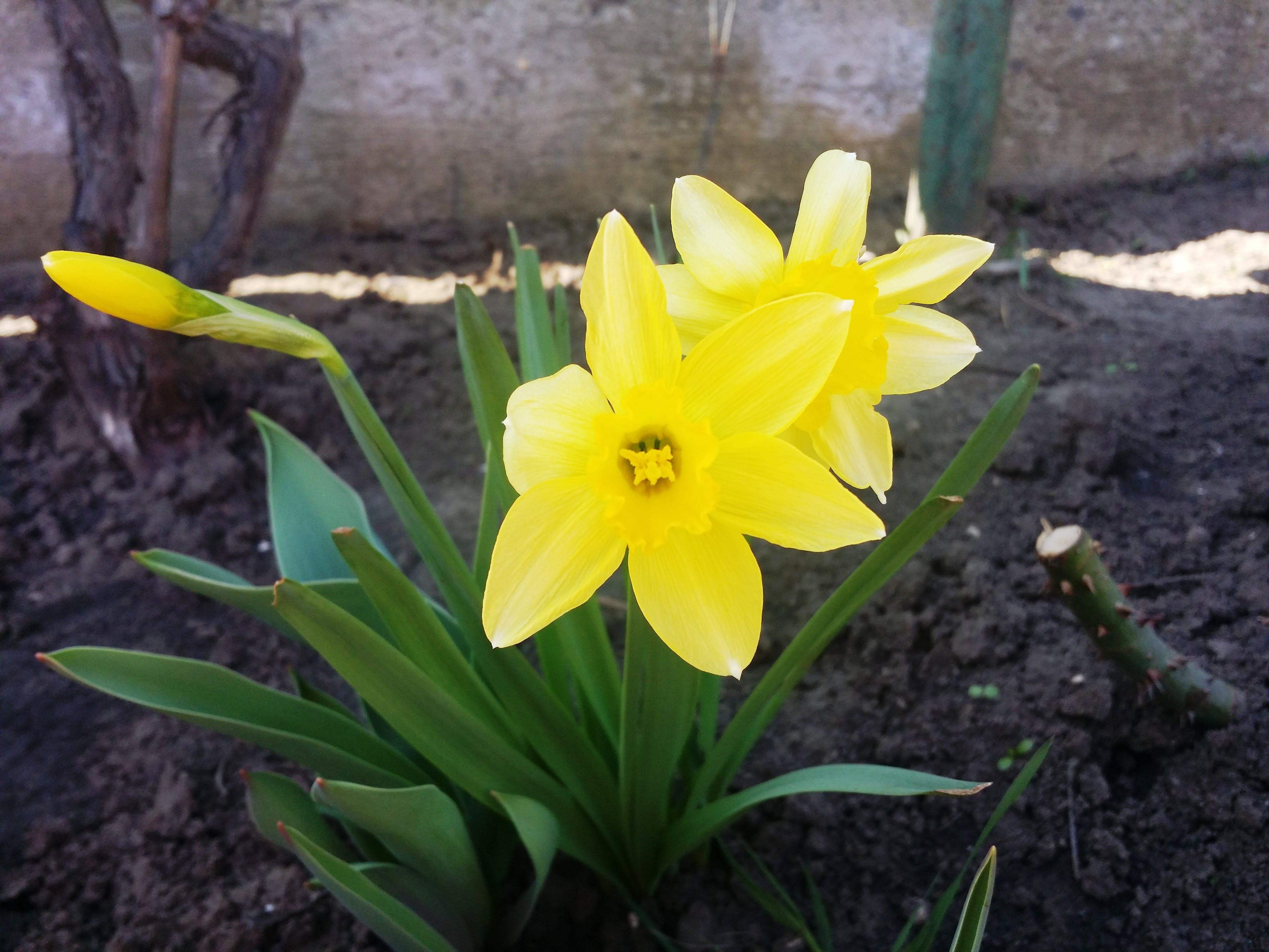 Бесплатное стоковое фото с букет цветов, весенний цветок, желтые цветы, нарциссы