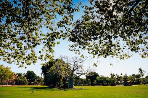 Free stock photo of boab tree
