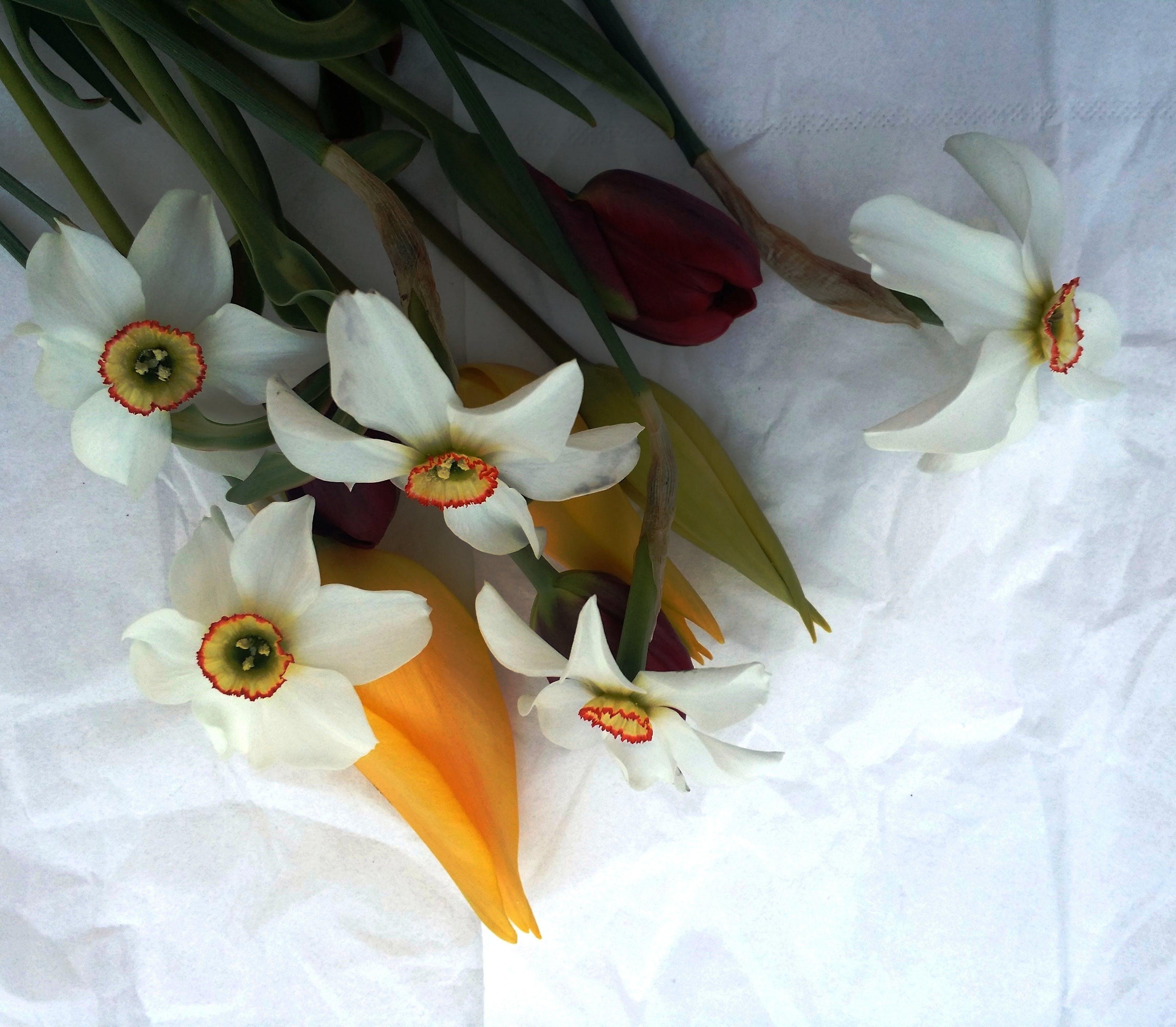 Бесплатное стоковое фото с белые нарциссы, весенние цветы, желтые цветы, красивые цветы