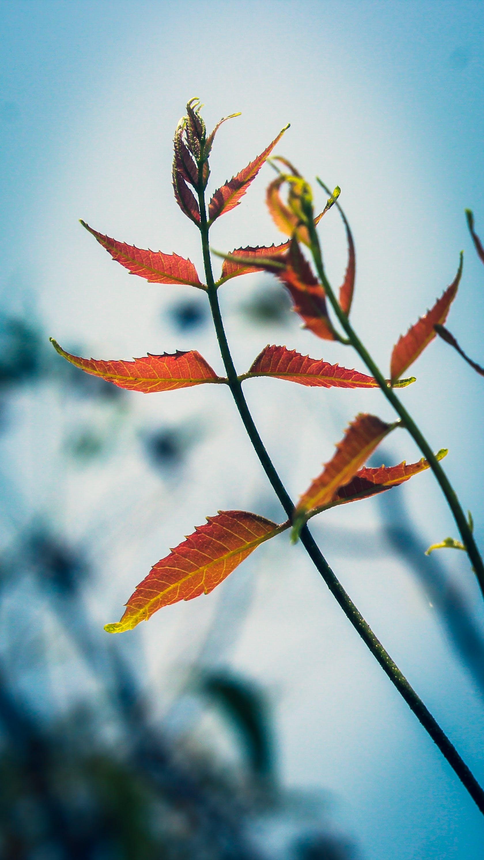 Free stock photo of leaves, neemleaves