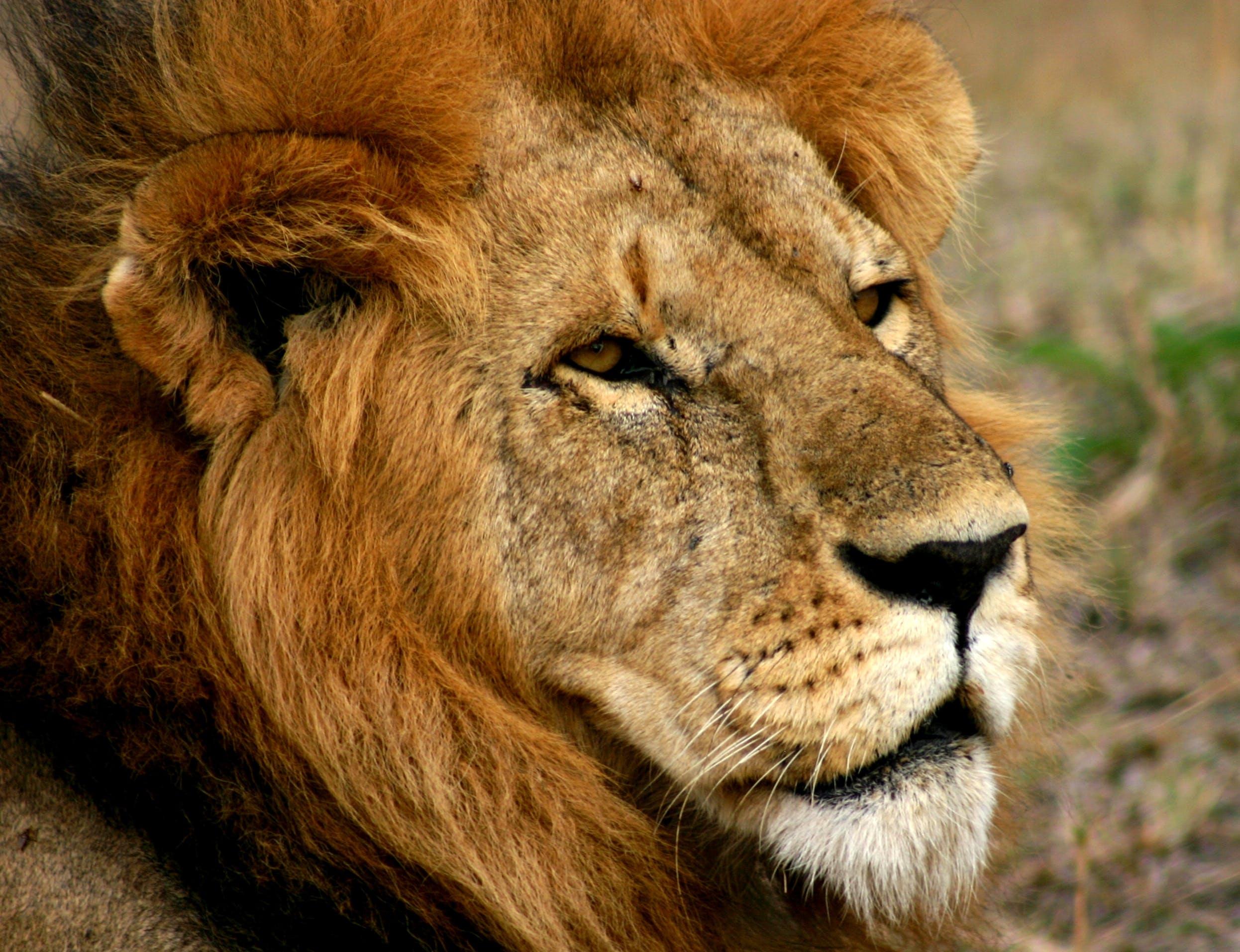 Kostenloses Stock Foto zu afrikanischer löwe, löwe porträt, löwen nahaufnahme, löwe