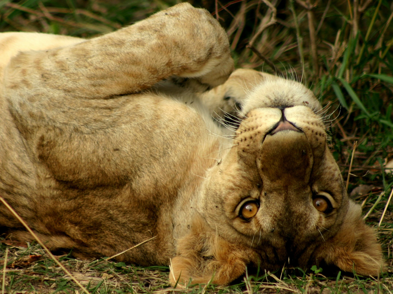 Kostenloses Stock Foto zu löwen spielen, löwe, löwenbaby