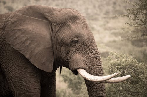 Close-Up Photo of an African Elephant with White Tusks