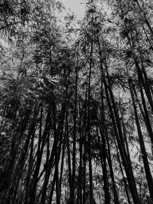 Free stock photo of b amp w, bamboo, bamboo forest
