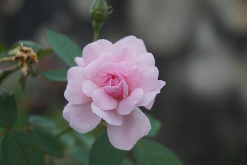 Free stock photo of beautiful, pink flower