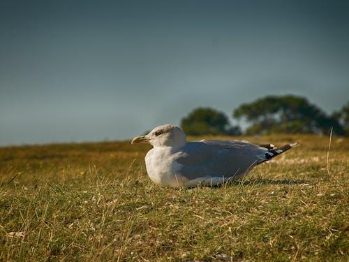 คลังภาพถ่ายฟรี ของ ขน, ตอนกลางวัน, นกนางนวล, นางนวล