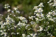 flowers, garden, marguerites