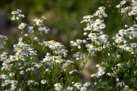 Free stock photo of flowers, garden, marguerites, flora