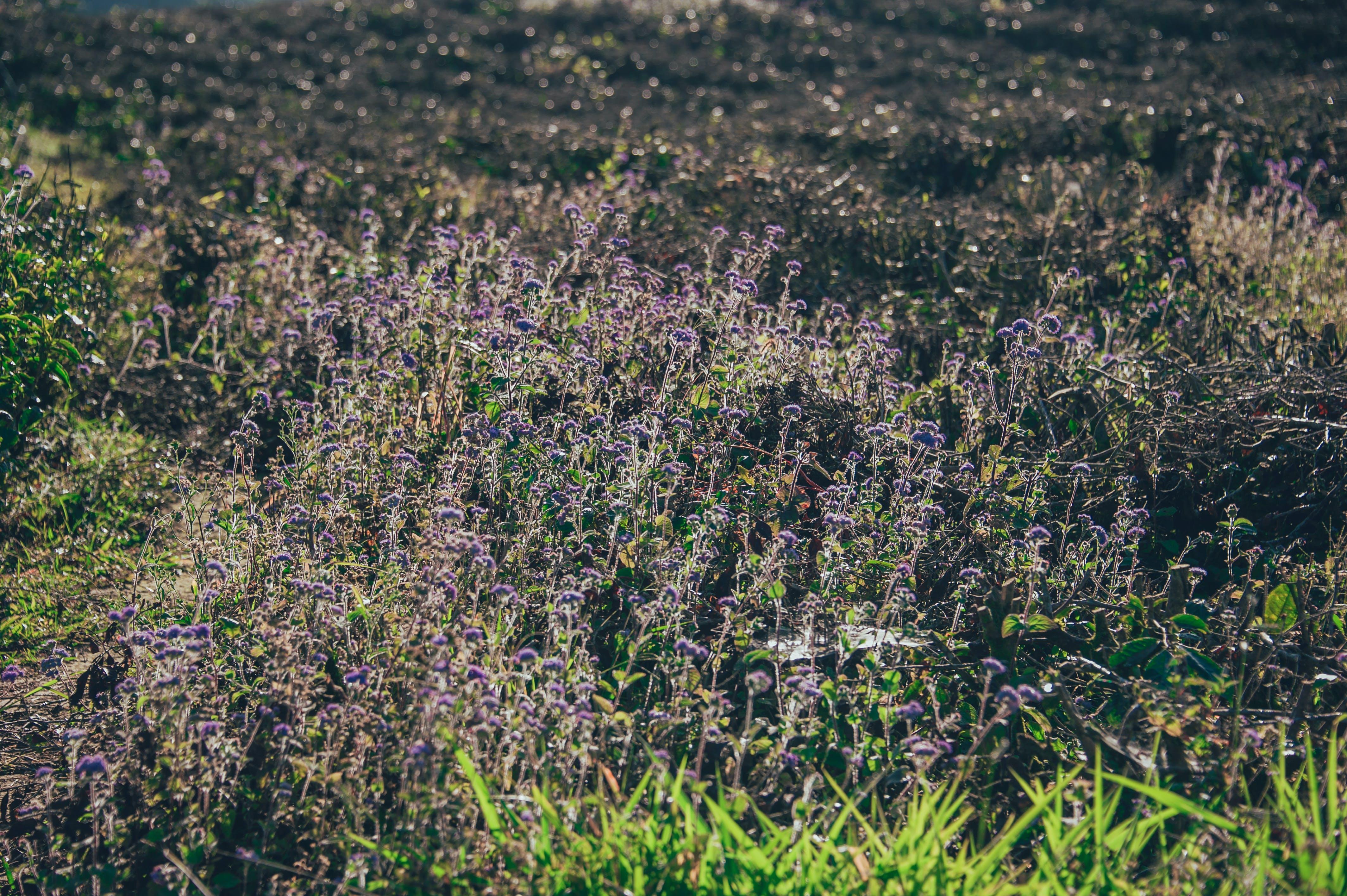 Purple Flower Field at Daytime