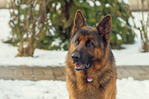 Gratis lagerfoto af dyr, hund, schæferhund, sne