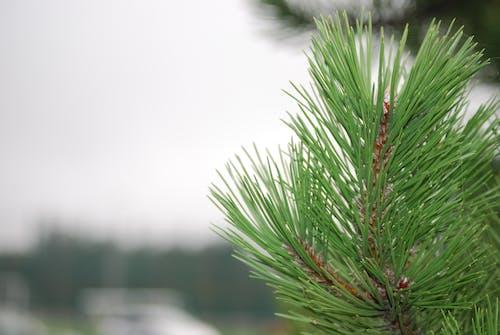 圣诞树, 宏觀, 工厂, 松樹 的 免费素材照片