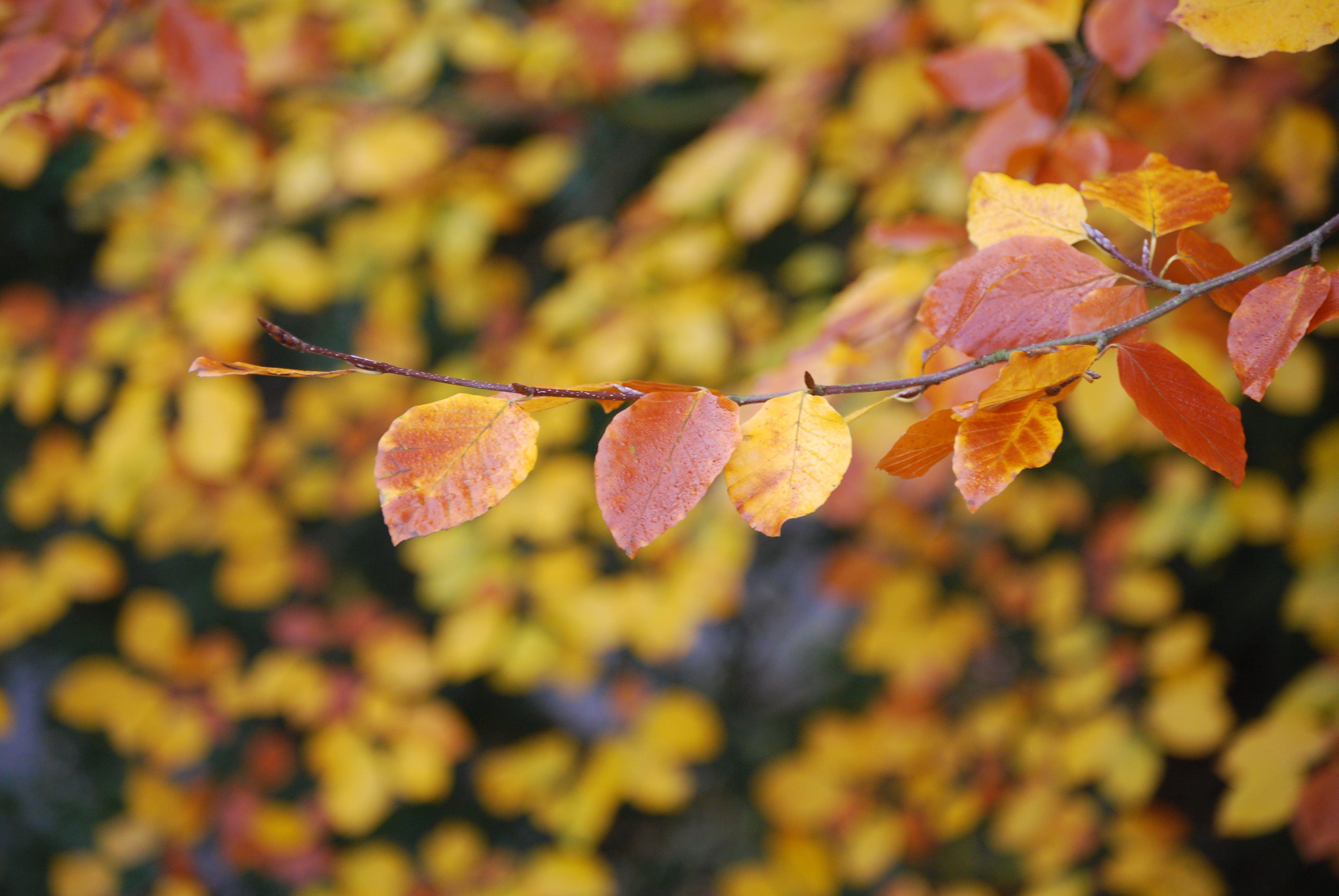 appelsin, close-up, efterårsblade