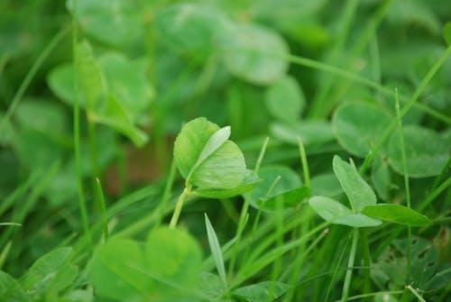 三叶三叶草, 三葉草, 工厂, 綠色 的 免费素材照片