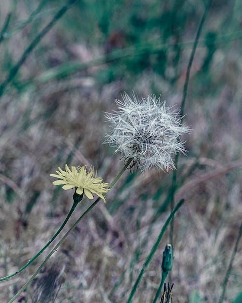 Free stock photo of beauty in nature, dandelion, dandelion flower