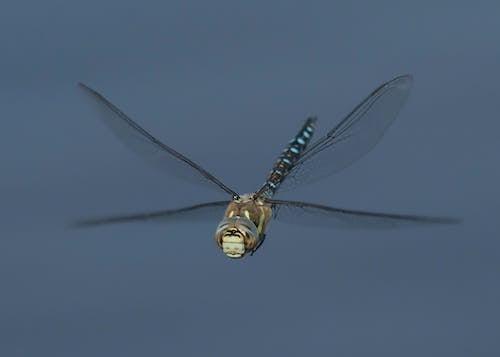 Бесплатное стоковое фото с зависать, крыло стрекозы, стрекоза
